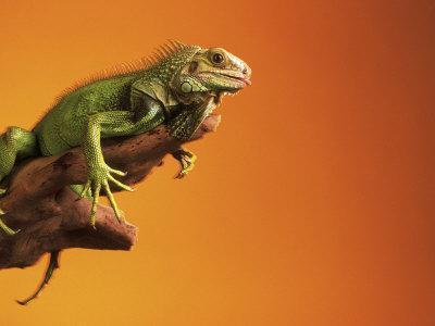 https://imgc.artprintimages.com/img/print/iguana_u-l-p3fkxc0.jpg?p=0