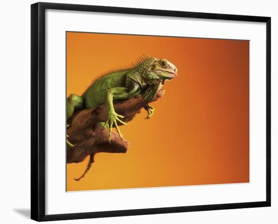 Iguana-Jacque Denzer Parker-Framed Photographic Print
