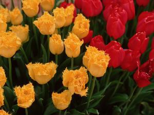 Tulips by Ike Leahy
