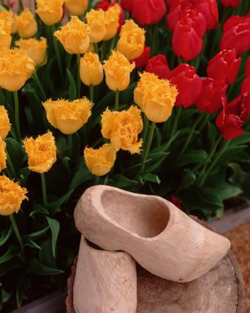 Wooden Shoe Tulips