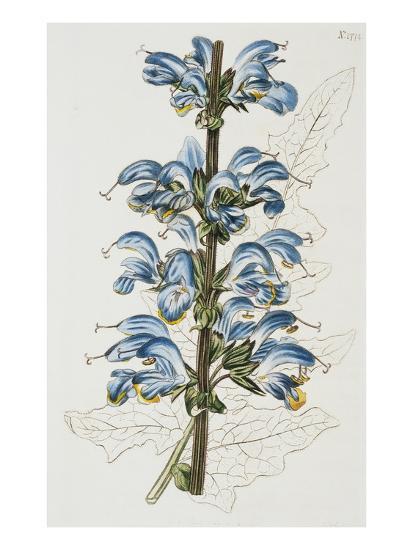 Illustration Depicting Bicolor Sage Plant-Bettmann-Giclee Print