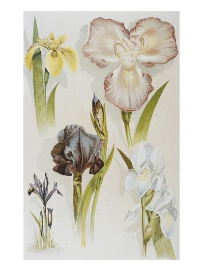 Illustration Depicting Various Types of Irises-Bettmann-Giclee Print