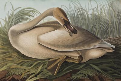 https://imgc.artprintimages.com/img/print/illustration-from-birds-of-america-1827-38-hand-coloured-and-aquatint_u-l-puou0l0.jpg?p=0