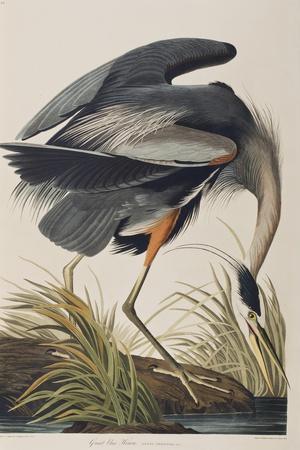 https://imgc.artprintimages.com/img/print/illustration-from-birds-of-america-1827-38-hand-coloured-and-aquatint_u-l-pup4hg0.jpg?artPerspective=n