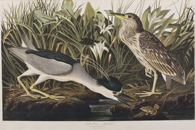 https://imgc.artprintimages.com/img/print/illustration-from-birds-of-america-1827-38-hand-coloured-and-aquatint_u-l-pup4in0.jpg?p=0