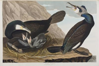 Illustration from 'Birds of America', 1827-38 (Hand-Coloured and Aquatint)-John James Audubon-Giclee Print