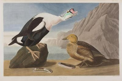 https://imgc.artprintimages.com/img/print/illustration-from-birds-of-america-1827-38-hand-coloured-and-aquatint_u-l-pup5as0.jpg?artPerspective=n