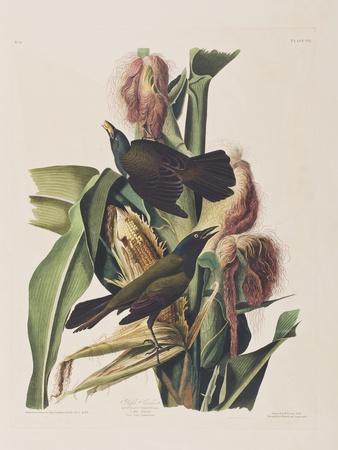 https://imgc.artprintimages.com/img/print/illustration-from-birds-of-america-1827-38_u-l-pp51x20.jpg?p=0