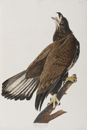 Illustration from 'Birds of America', 1827-38-John James Audubon-Giclee Print