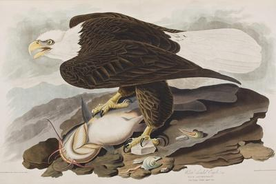 https://imgc.artprintimages.com/img/print/illustration-from-birds-of-america-1827-38_u-l-ppowq60.jpg?p=0