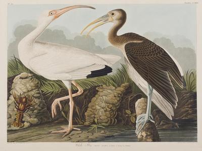 https://imgc.artprintimages.com/img/print/illustration-from-birds-of-america-1827-38_u-l-prdzm30.jpg?p=0