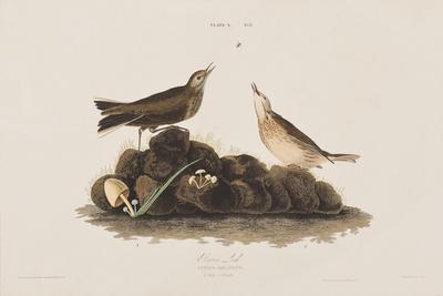 https://imgc.artprintimages.com/img/print/illustration-from-birds-of-america-1827-38_u-l-prdzzo0.jpg?artPerspective=n