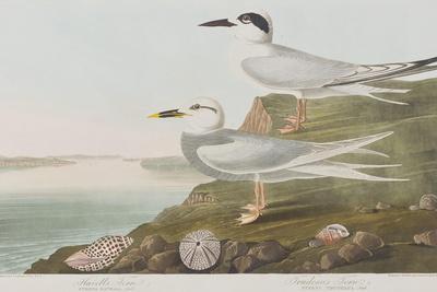 https://imgc.artprintimages.com/img/print/illustration-from-birds-of-america-1827-38_u-l-pre0gz0.jpg?p=0