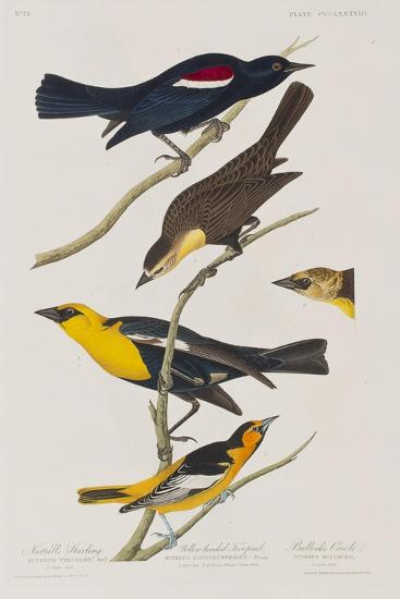 Illustration from 'Birds of America', 1827-38-John James Audubon-Giclee Print