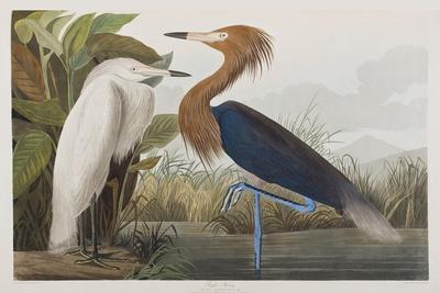 https://imgc.artprintimages.com/img/print/illustration-from-birds-of-america-1827-38_u-l-pre1yj0.jpg?p=0