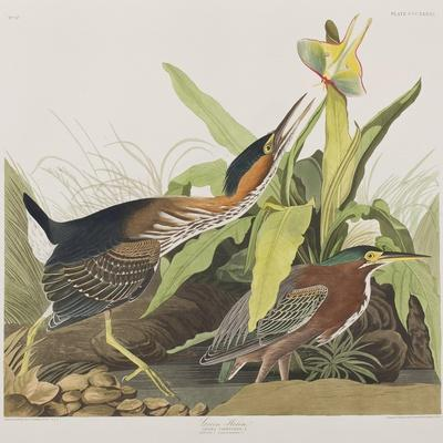 https://imgc.artprintimages.com/img/print/illustration-from-birds-of-america-1827-38_u-l-pre2es0.jpg?p=0