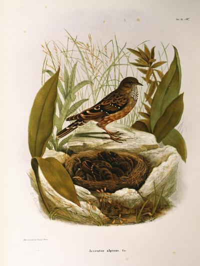 Illustration from Eugenio BettoniS Natural History of Birds That Nest in Lombardy Representing Alpi--Giclee Print