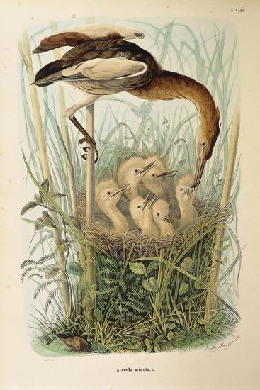 Illustration from Eugenio BettoniS Natural History of Birds That Nest in Lombardy Representing Litt--Giclee Print