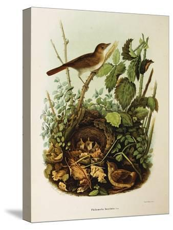 Illustration from Eugenio BettoniS Natural History of Birds That Nest in Lombardy Representing Nigh