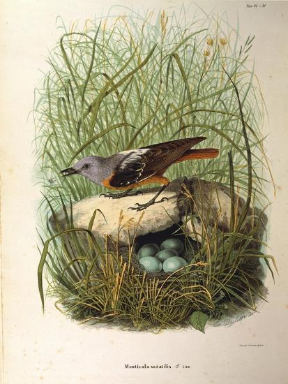 Illustration from Eugenio BettoniS Natural History of Birds That Nest in Lombardy Representing Rock--Giclee Print