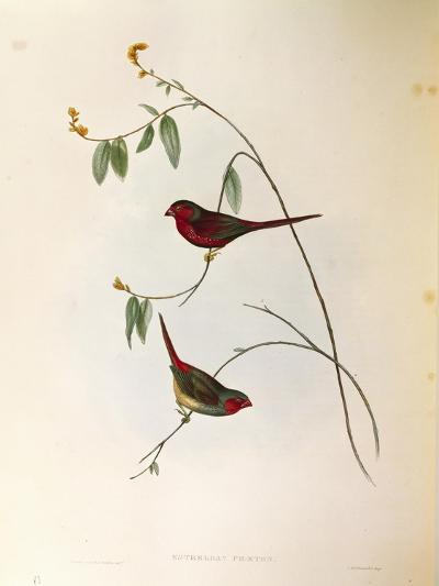 Illustration from John GouldS The Birds of Australia Representing Crimson Finch Neochmia Phaeton--Giclee Print