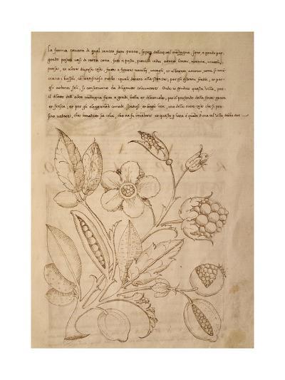 Illustration from Trattato Sui Fiori Dei Parchi Delle Ville--Giclee Print