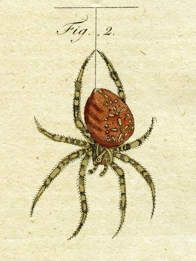 Illustration of a Spider, 1790-Jacob Xavier Schmuzer-Giclee Print