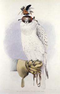 Illustration of a White Hawk