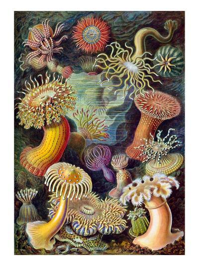Illustration of Actiniae by Ernst Haeckel--Giclee Print