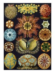 Illustration of Ascidiacea by Ernst Haeckel