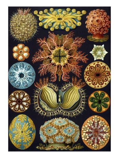 Illustration of Ascidiacea by Ernst Haeckel--Giclee Print