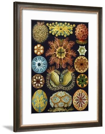 Illustration of Ascidiacea by Ernst Haeckel--Framed Giclee Print