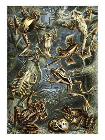 Illustration of Batrachia by Ernst Haeckel--Giclee Print