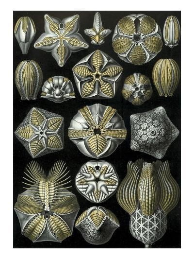 Illustration of Blastoidea by Ernst Haeckel--Giclee Print