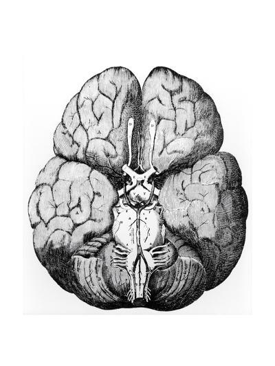 Illustration of Blood Supply To the Brain,C.Wren-Science Photo Library-Giclee Print