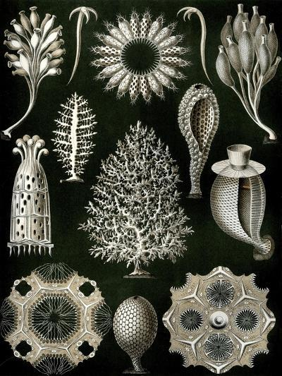 Illustration of Calcispongiae by Ernst Haeckel--Giclee Print