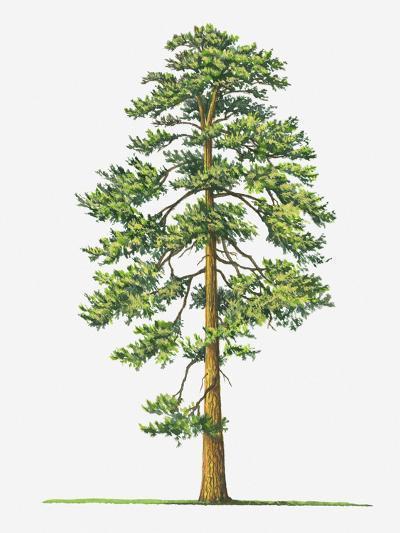 Illustration of Evergreen Pinus Ponderosa (Ponderosa Pine) Tree-Sue Oldfield-Photographic Print