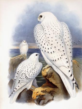 Illustration of Falcons, 1873-John Gould-Giclee Print