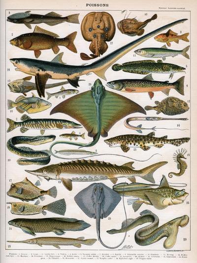 Illustration of Ocean Fish, C.1905-10-Alillot-Giclee Print