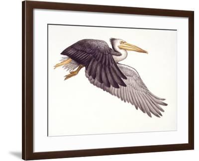 Illustration of Osteodontornis in Flight on White Background--Framed Giclee Print