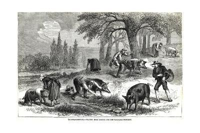 Illustration of Pigs Truffle Hunting--Giclee Print