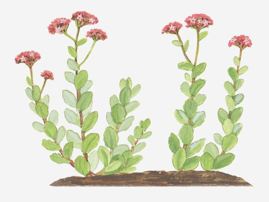 Illustration of Sedum Telephium (Orpine), Succulent Plant with Red Flowers-Ann Winterbotham-Photographic Print