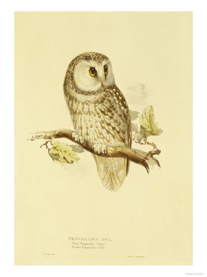 Illustration of Tengmalm's Owl-Edward Lear-Giclee Print