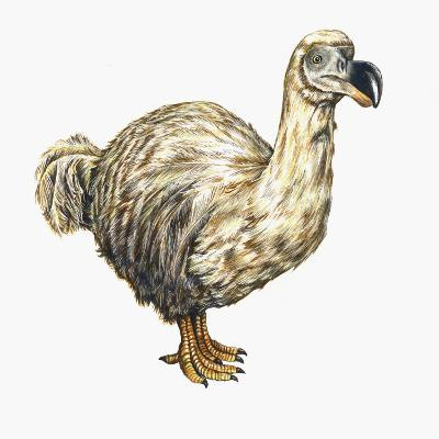 Illustration of the Extinct Dodo Bird-Christina Brodie-Photographic Print