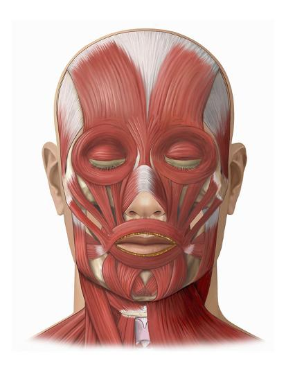 illustration of the human face muscles showing the following