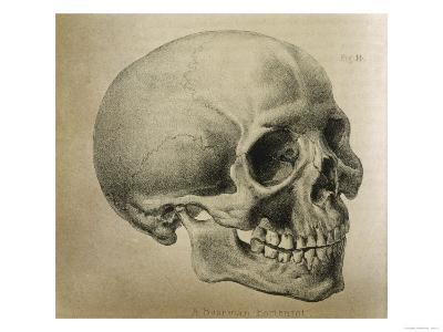 Illustration of the Skull of a Bushman of the Hottentot Tribe Africa--Giclee Print