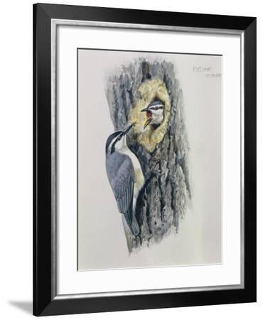 Illustration Representing Corsican Nuthatch Sitta Whiteheadi--Framed Giclee Print