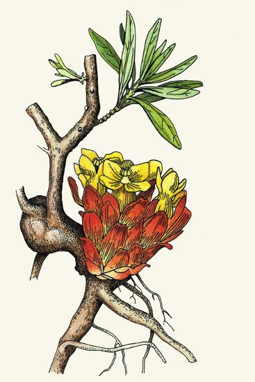 Illustration Representing Cytinus Hypocistis--Giclee Print