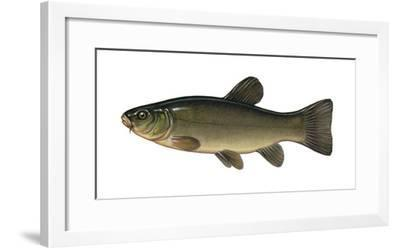 Illustration, Schleie, Tinca Tinca, Not Freely for Book-Industry, Series-Carl-Werner Schmidt-Luchs-Framed Photographic Print