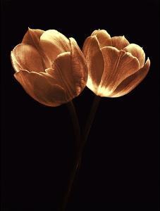 Illuminated Tulips II by Ilona Wellmann